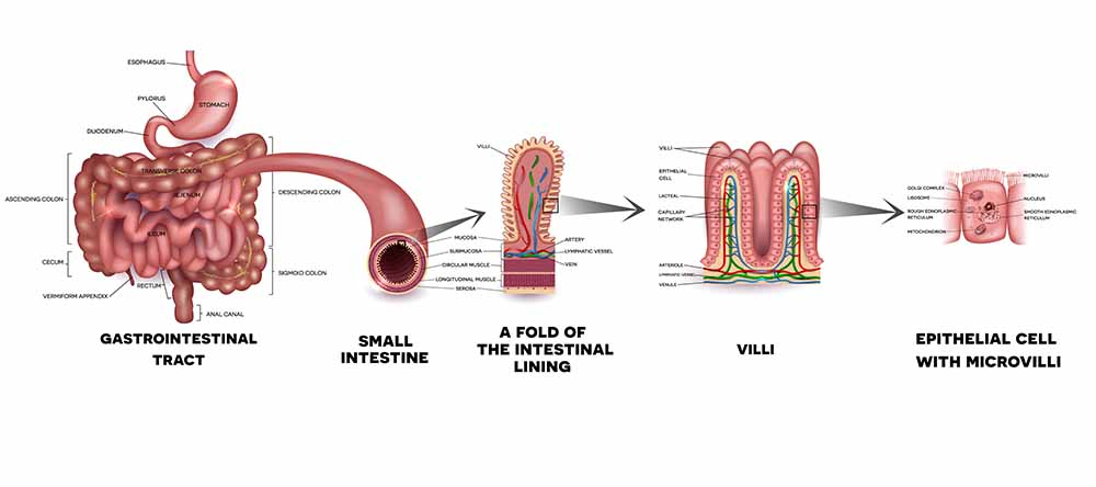What Causes SIBO - Digestive Tract Showing Villi And Microvilli